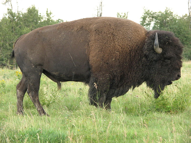 Yellowstone Bison: Teen Girl Gored By A Bison