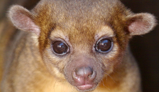 Its Tuesday Kinkajou captured in T...
