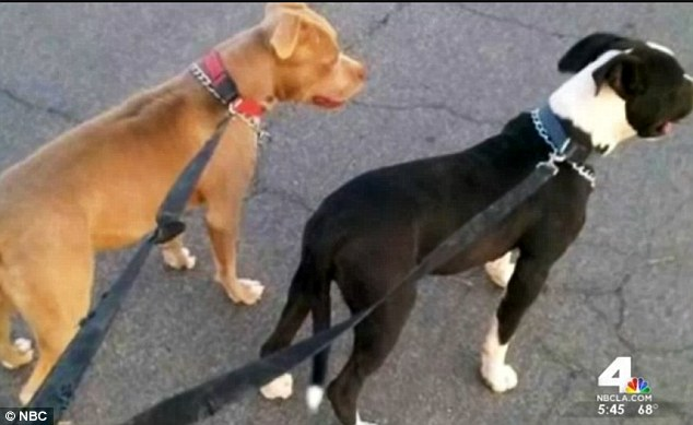 Woman Stabs Two Pit Bulls Kills Both Dogs Dbtechno