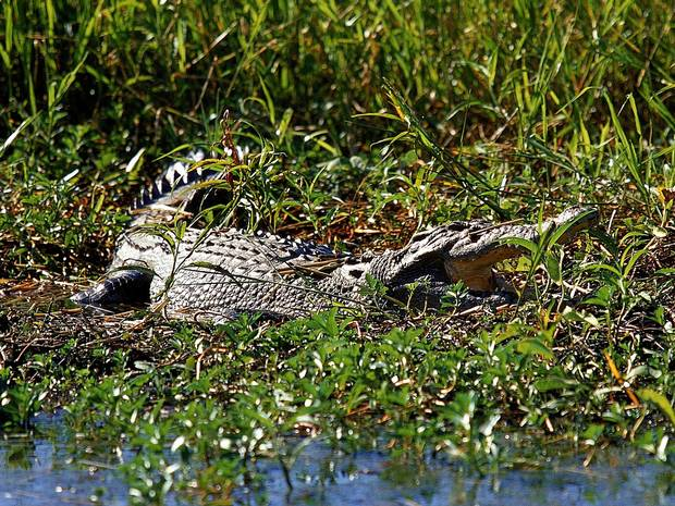 150 crocodiles Rescued From Mans Home