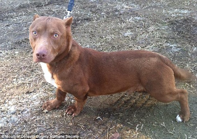 Pitbull dachshund: Shelter Shows Off Pitbull-Dachshund Mix - dBTechno