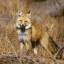 Sierra Nevada red fox spotted:  First Time In 100 Years