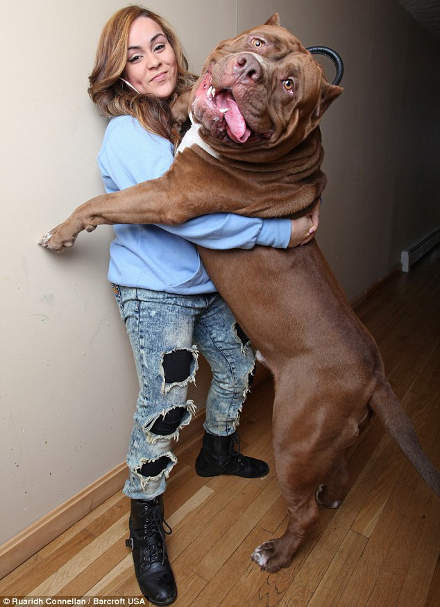 Hulk Pit Bull: This Massive Pit Bull Is 175 Pounds (PHOTO ...