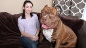 Hulk Pit Bull:  This Massive  Pit Bull Is 175 Pounds (PHOTO)