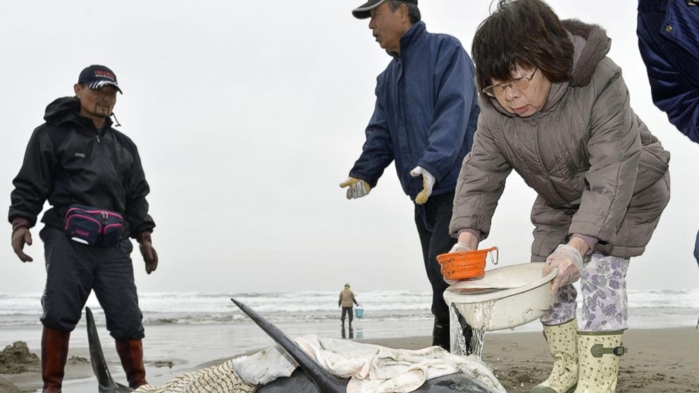 Rescuers and people look after a stranded dolphin at the shore in Hokota, north of Tokyo, Friday, April 10, 2015. Nearly 150 dolphins were found washed ashore the coast in central Japan on Friday morning. A Hokota city official said a total of 149 dolphins were found stranded on the beach by noon local time. (AP Photo/Kyodo News)