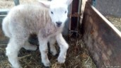 Five-legged lamb Born Is The Cuttest Thing On Five Legs (PHOTO)