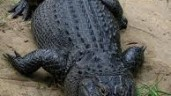 Alligator Attack Ends In Tragedy