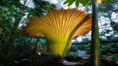 Corpse flower Blooms:  Watch It Bloom On Live Stream
