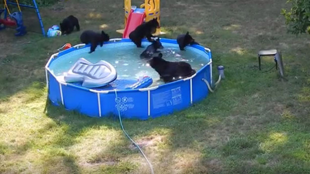 Bears in new jersey pool see how bear family beat the heat video dbtechno for Bears in swimming pool new jersey