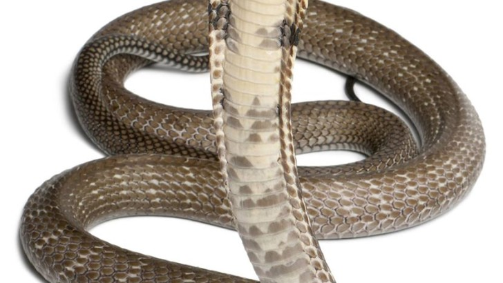 Orlando king cobra Search Ends,  Snake Never Caught (PHOTO)