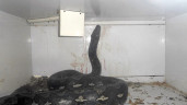 Kentucky python:  Police Pull 2-Foot Python Off Pet Shop Owner (PHOTO)