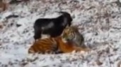 Goat befriends tiger In Russia (VIDEO)