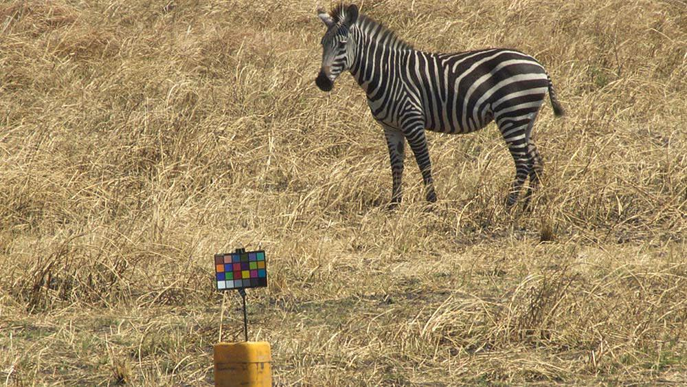 A zebra grazing on the grassy plains gazes at the researchers' chart used for color-calibrating images. (Tim Caro/UC Davis)