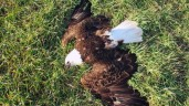 Bald eagle cause for plane crash UPDATE