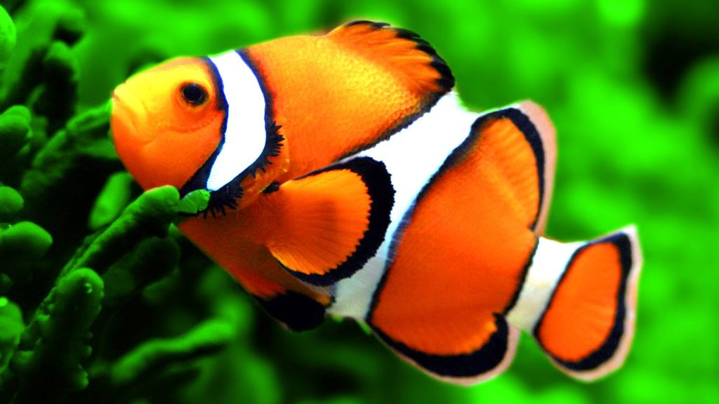 Finding dory clownfish dbtechno for Clown fish for sale