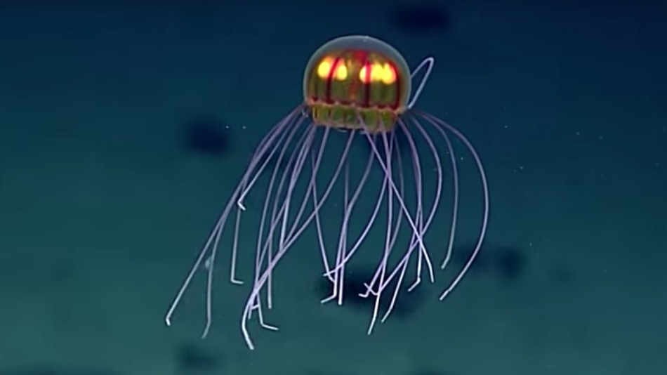 Jellyfish discovered