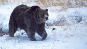 Yellowstone grizzly Named'Scarface' Shot And Killed
