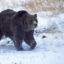 Yellowstone grizzly 'Scarface' Shot And Killed