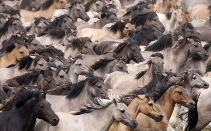 The annual round-up of Dulmen wild ponies on the Duke of Croy's Merfelder Bruch estate, NorthRhine Westphalia, Germany CREDIT: KRISTEL RICHARD/NPL / REX FEATURES